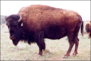 Buffalo cow-Potosie--on Red Canyon Ranch, Wyoming.