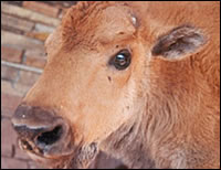 Nebi, an orphaned buffalo calf that we raised on bottles of goat's milk.