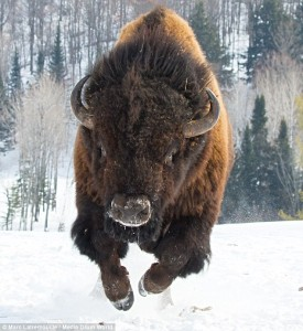 bison charging