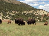 ranch-bison-grazing